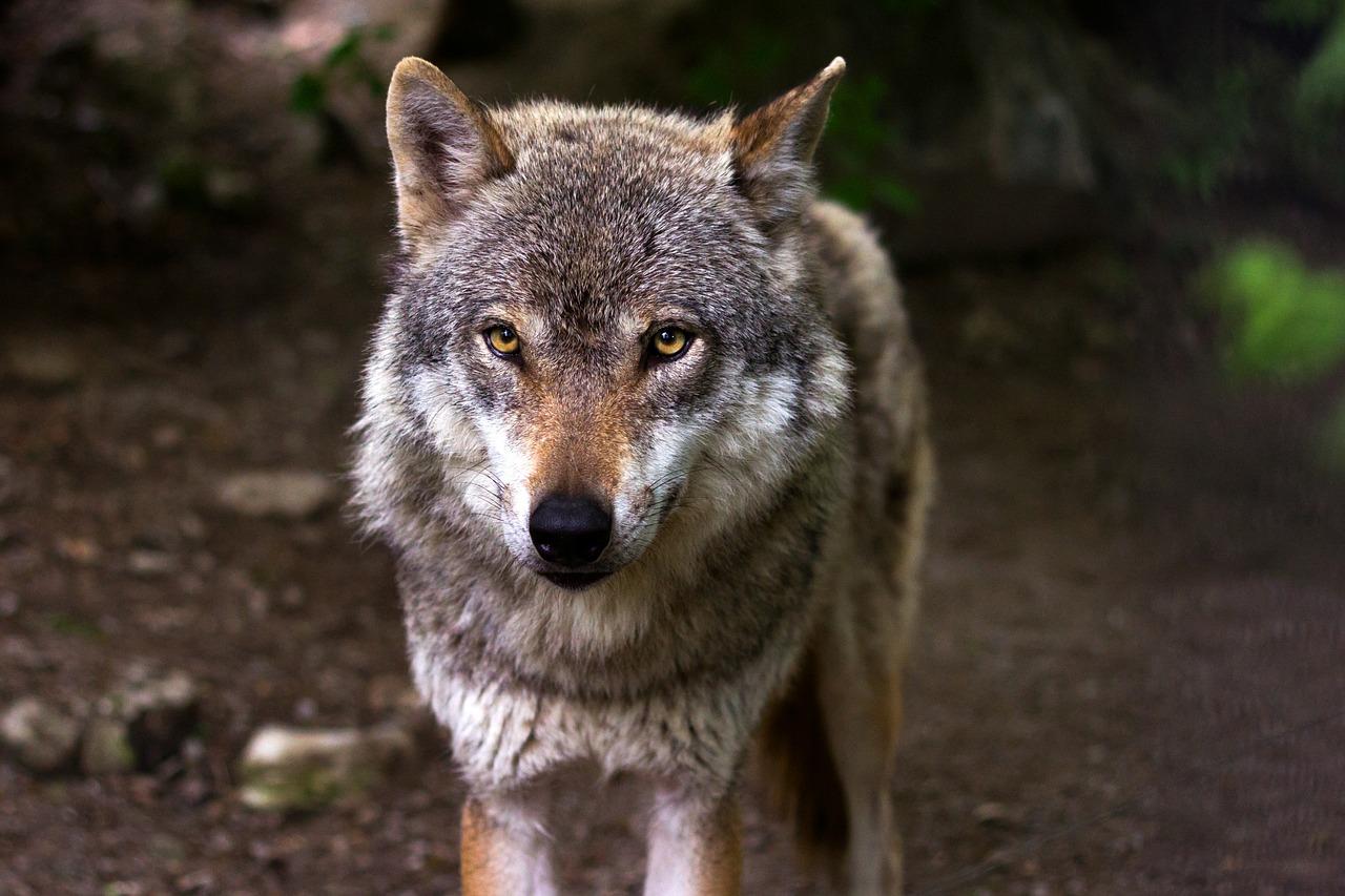 Wilki wróciły w Sudety