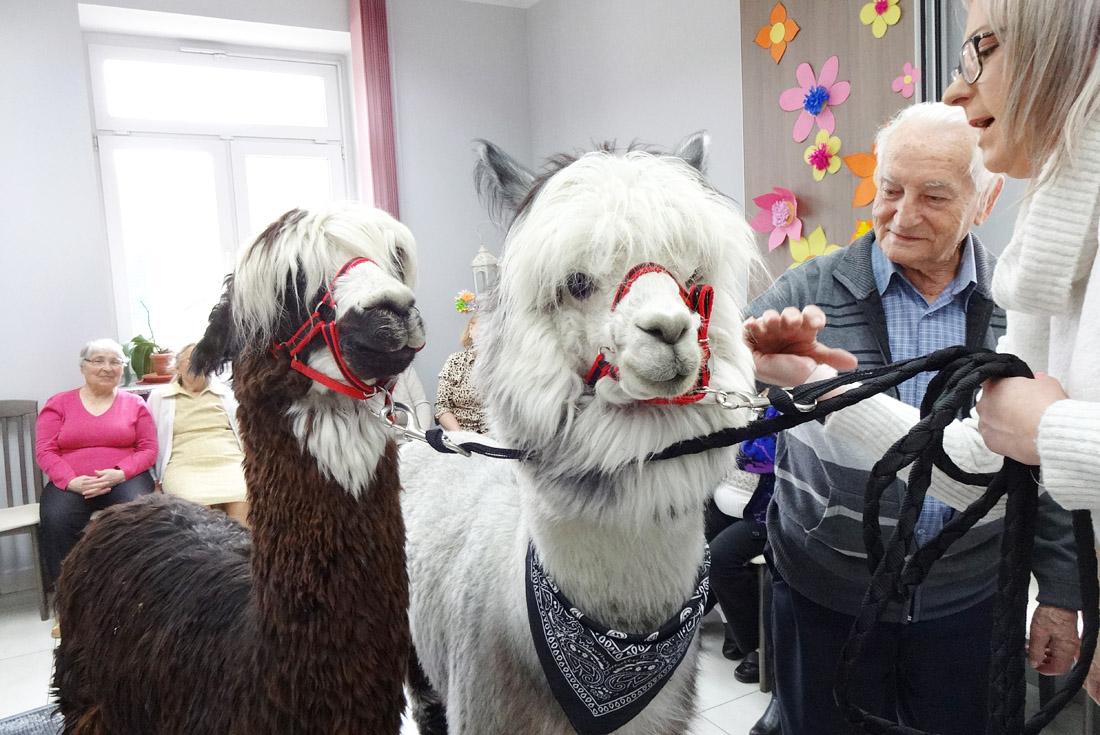 Alpaki odwiedziły seniorów [FOTO]