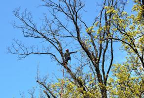 Zawisł na drzewie i ścinał gałęzie [FOTO]